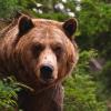 Медведи на омских улицах: миф или реальность завтрашнего дня?