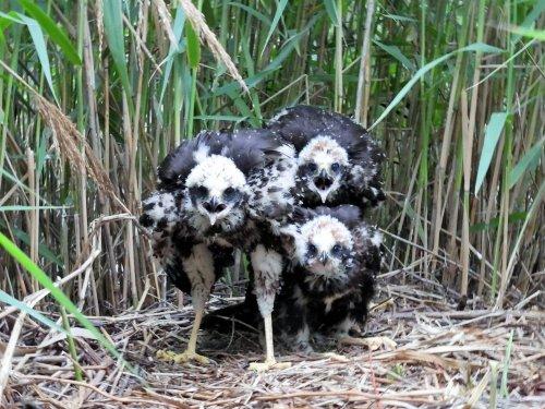 Гнездо болотного луня