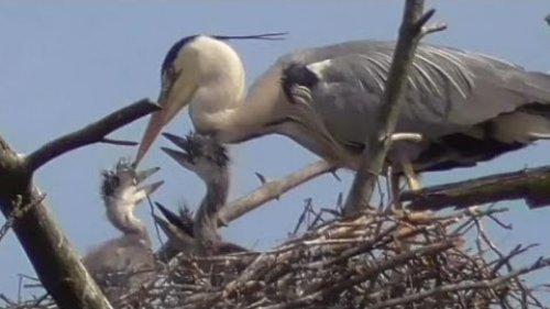 Серые цапли и их птенцы в начале лета. Grey herons and chicks | Nature world