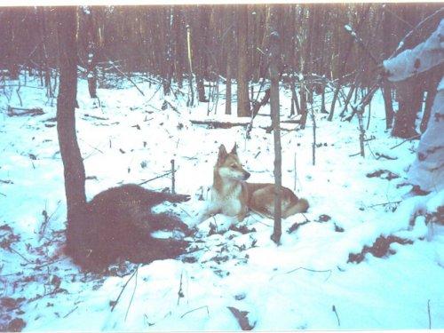 Занимательные эпизоды из жизни охотничьих собак.