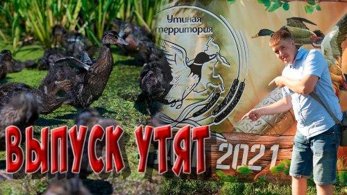 Выпуск птенцов утки. Утиная территория