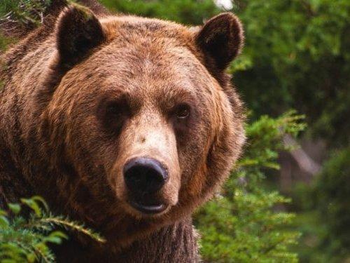 1 августа в Омской области начался сезон охоты на медведя