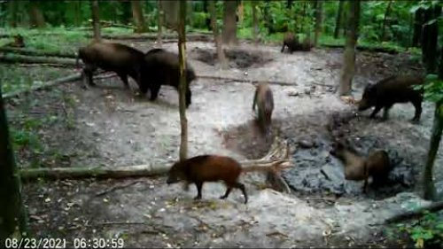 Утренние спарринги у кабанов))) / Morning sparring wild boars)))