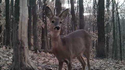 Олени и косули крупным планом /Deer and roe deer in the wild close-up.