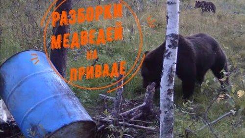 Привада на медведя. Драка медведей.