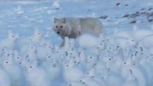 Арктический заяц